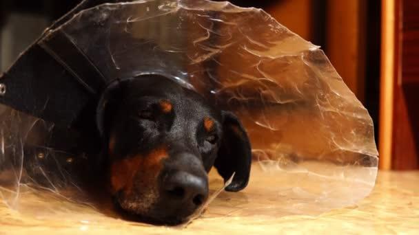 Dobrman pes leží na podlaze v Detailní límec lékařské kužel