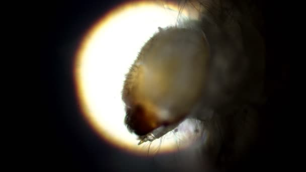 The head of a larva the drugstore beetle in the microscope