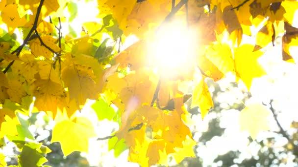 Sun shining through fall leaves blowing in breeze.