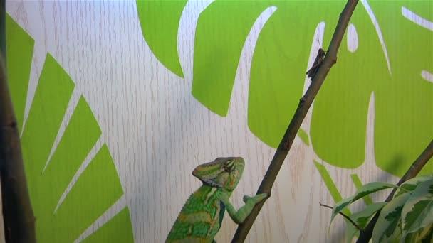 Chameleon loví kobylku