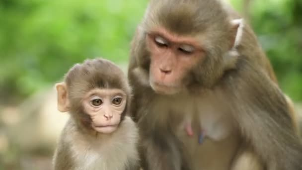 A monkey female with a cub in the jungle