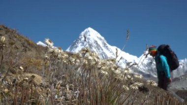 Edelweiss and a tourist in the Himalayas