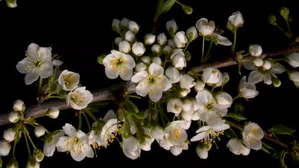 Květiny kvetoucí sakura