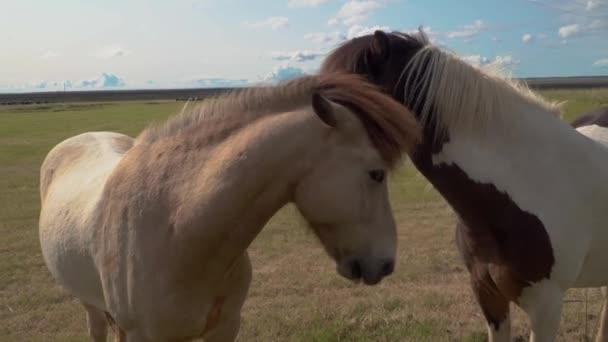 Islandský kůň je krmen slámou ženskou rukou