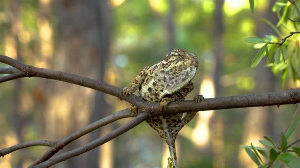Chameleon na stromě