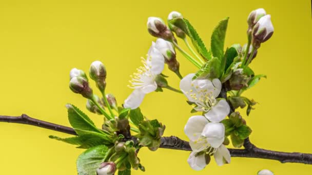 Blossoming apple-tree time lapse on yellow background