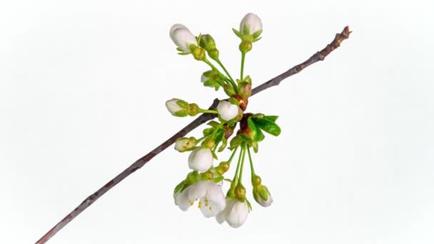 Blossoming apple-tree time lapse on White background