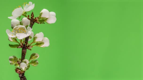 Blossoming apple-tree time lapse on green background