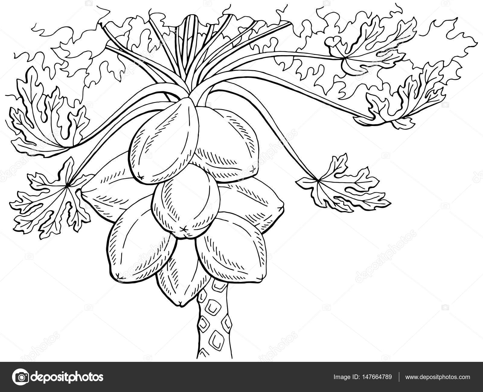 Papaya fruit tree graphic black white isolated sketch illustration vector stock vector