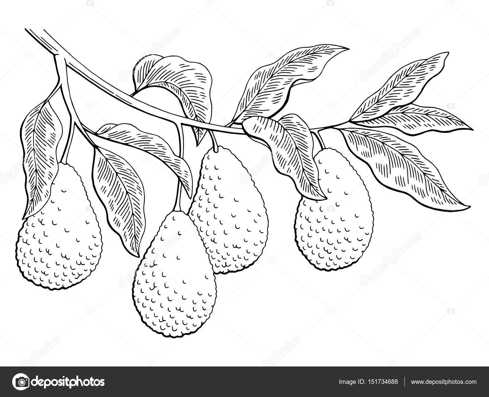 Dibujos Para Colorear De Arboles Frutales: Vector De Fruta Aguacate Rama
