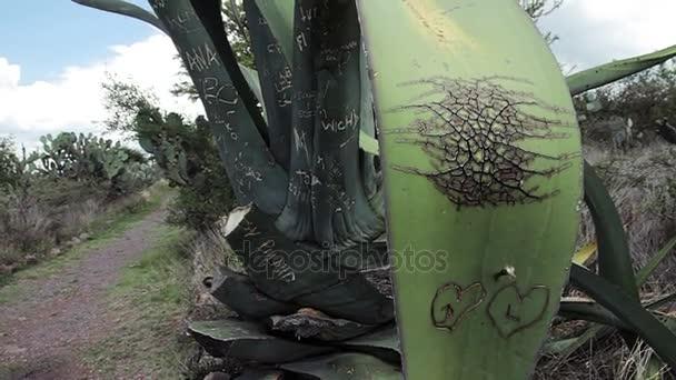 Egy pár séták a mező, az előtérben egy agave növény.
