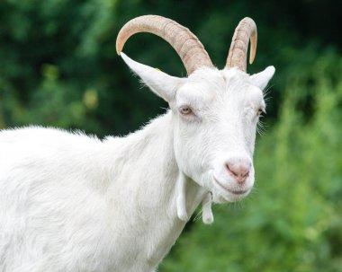 Saanen Goat Portrait A