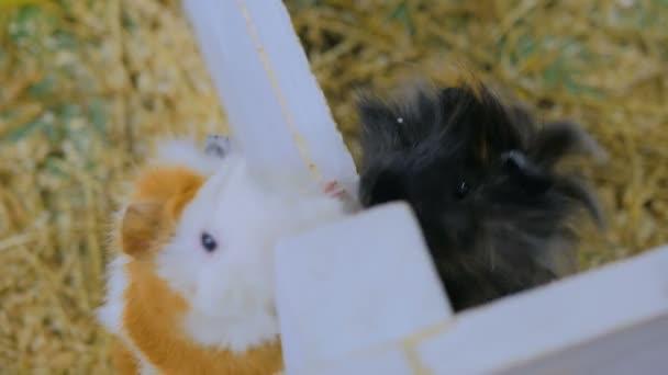 Woman feeding guinea pigs