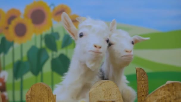 Žena krmení bílé kozy