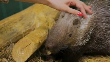 Woman stroke porcupine at zoo