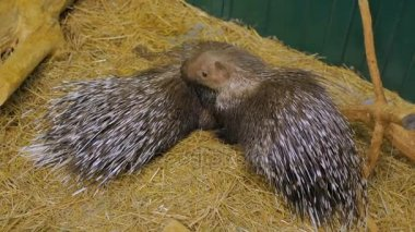 Family of porcupine lying at the zoo
