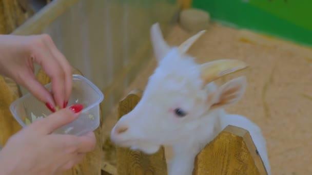 Žena krmení bílých koz na farmě