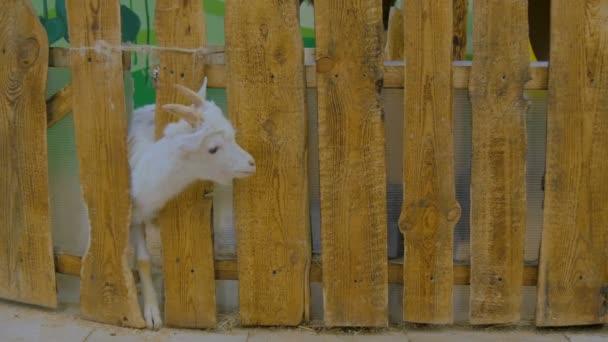 Kozy se rozhlíží z dřevěný plot na farmě
