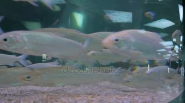 schwarm von silbernen fische schwimmen im riesigen aquarium stockvideo zyabich 180370302. Black Bedroom Furniture Sets. Home Design Ideas