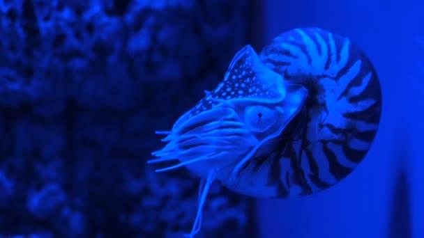 Nautilus pompilius schwimmt im Aquarium