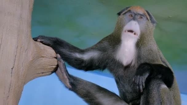 Vicces majom ül a fán és ásít.