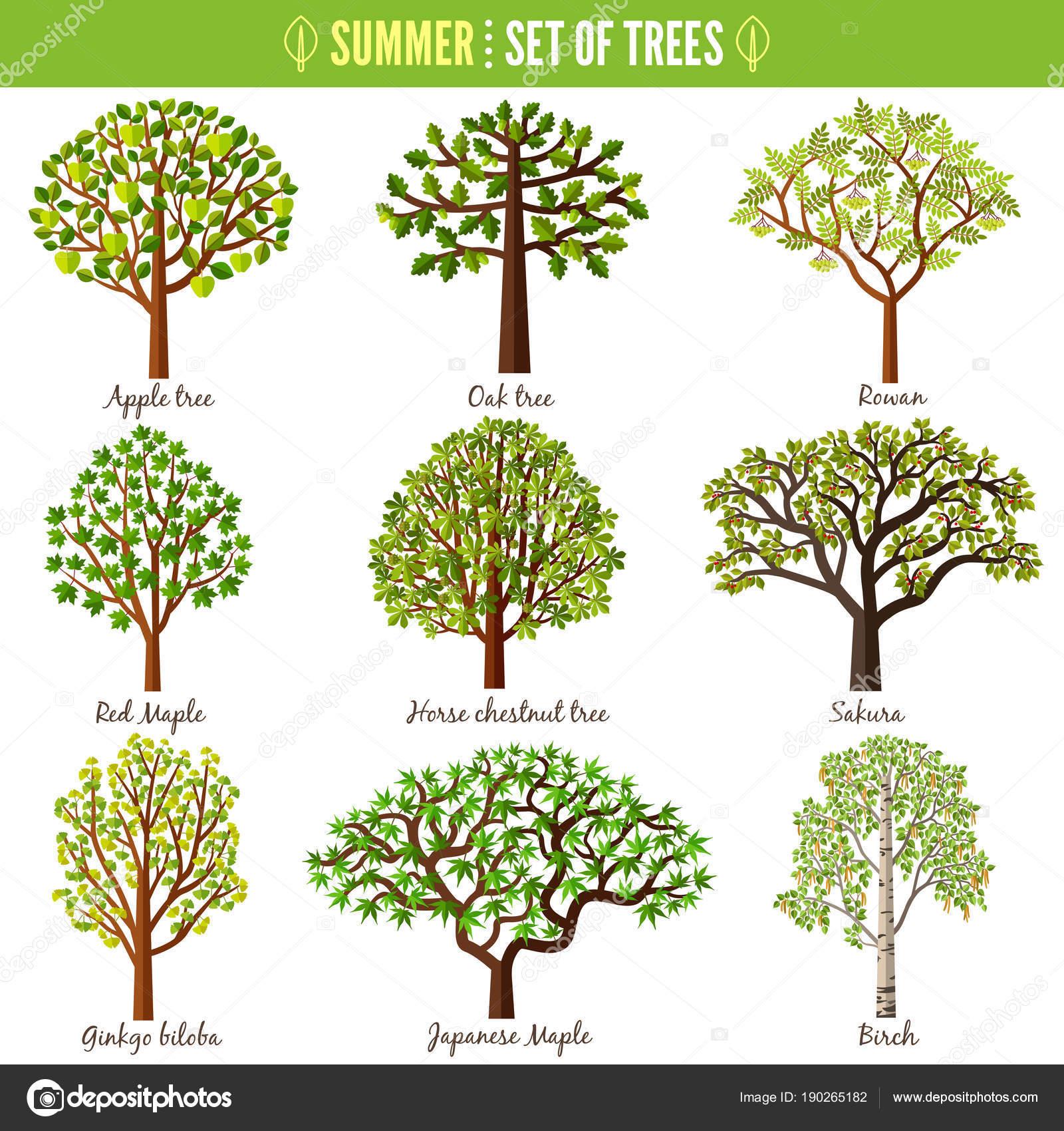 Cherry Blossom Tree Facts Set Summer Trees White Background Apple Tree Oak Tree