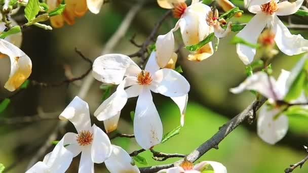 Bílý kvetoucí magnólie květiny