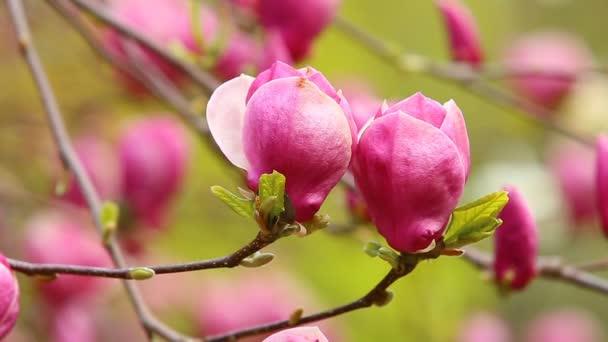 Poupě růžové magnólie v zelené jarní zahrada