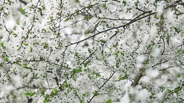 Weiß blühende Frühjahr Frucht Baum Textur — Stockvideo © Godlikeart ...