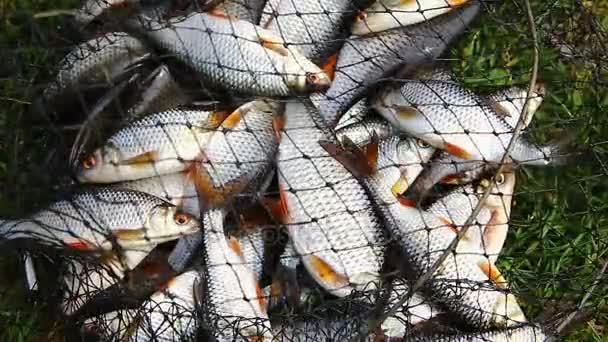 Élő roach halakkal, ugrás a nettó gombóc