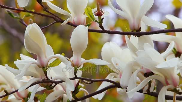 Magnolia květina s bílými květy