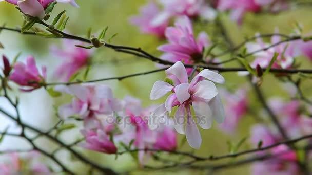 Květy růžové magnólie v zelené jarní zahrada