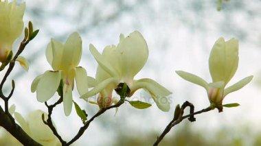 Bílá magnólie květiny a světlo rozmazané pozadí. Zblízka fotografování