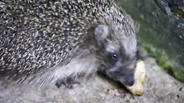 cute hedgehog eats close-up, animals, wildlife