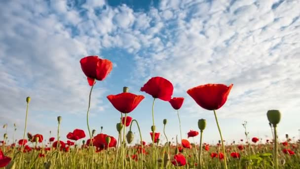 time lapse of beautiful red poppies close-up , clouds and sky