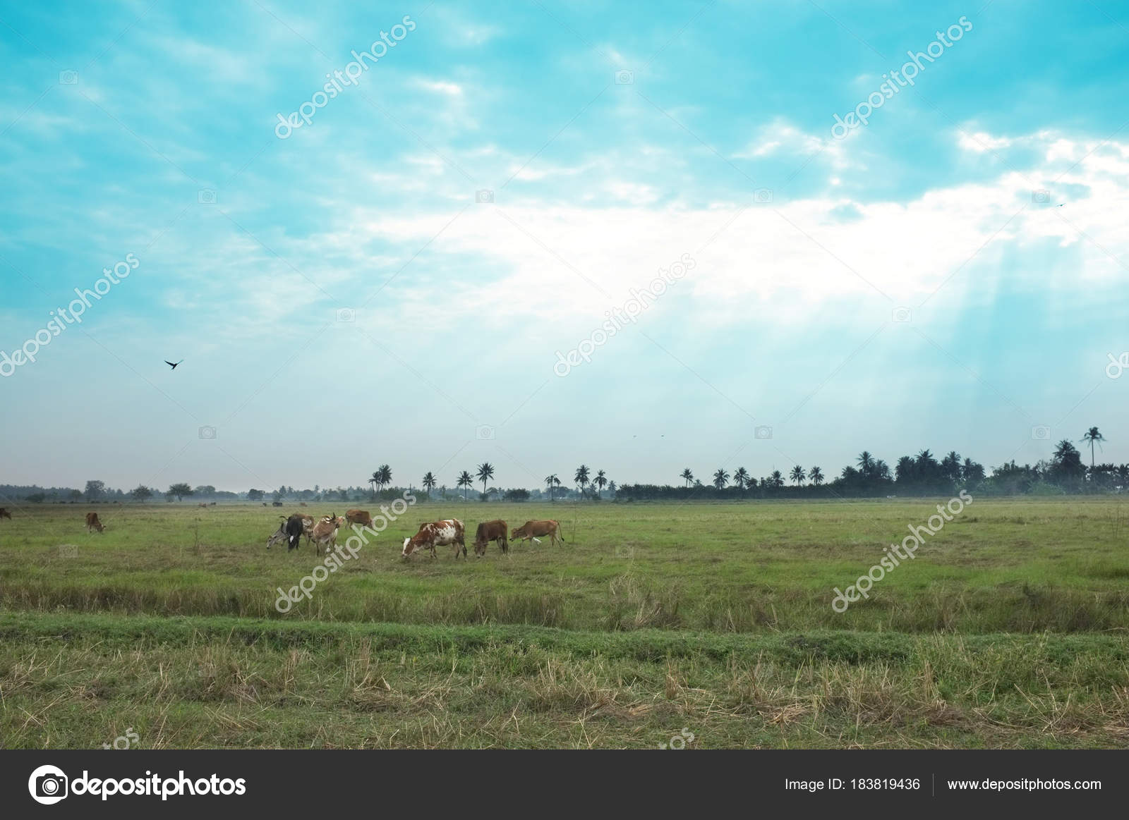 grassy field background. Beautiful Background , Cows In A Grassy Field On Bright And Sunny Day  Thailand. ( Saturation Style ) \u2014 Photo By Hepjam@hotmail.com