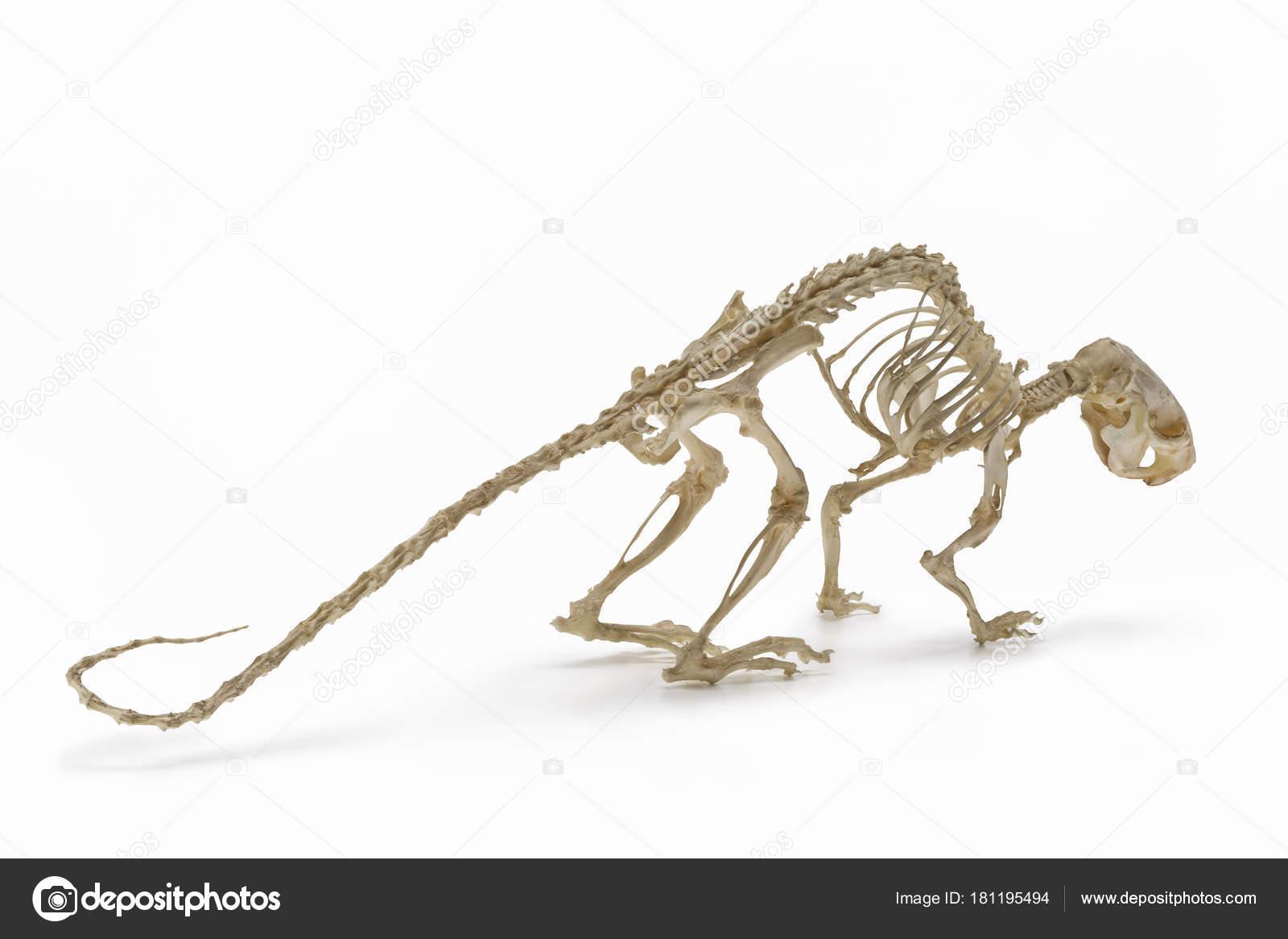 Skelett Der Ratte Einen Freibetrag Von Nagetier Zoologie — Stockfoto ...