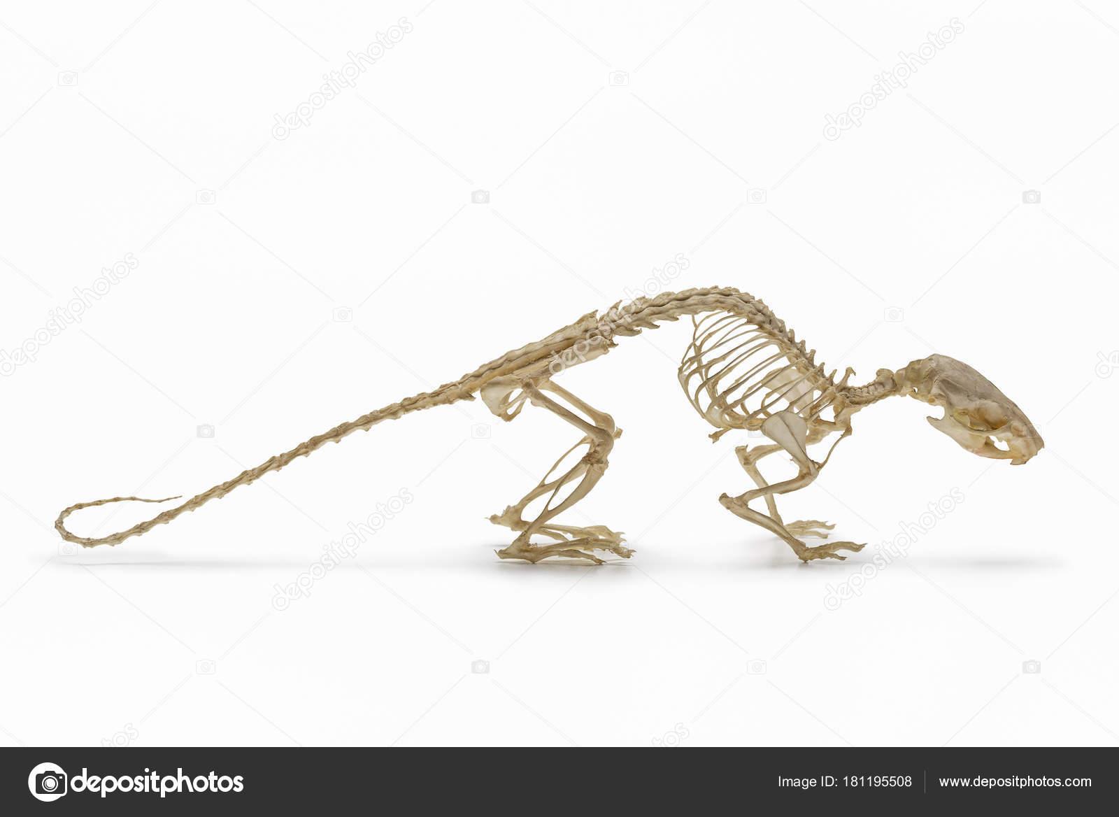 Natürliche Skelett Der Ratte — Stockfoto © kot36 #181195508
