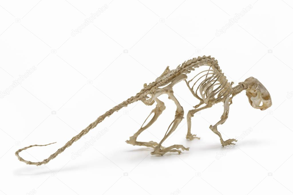 Skeleton of  rat, an allowance of rodent zoology.