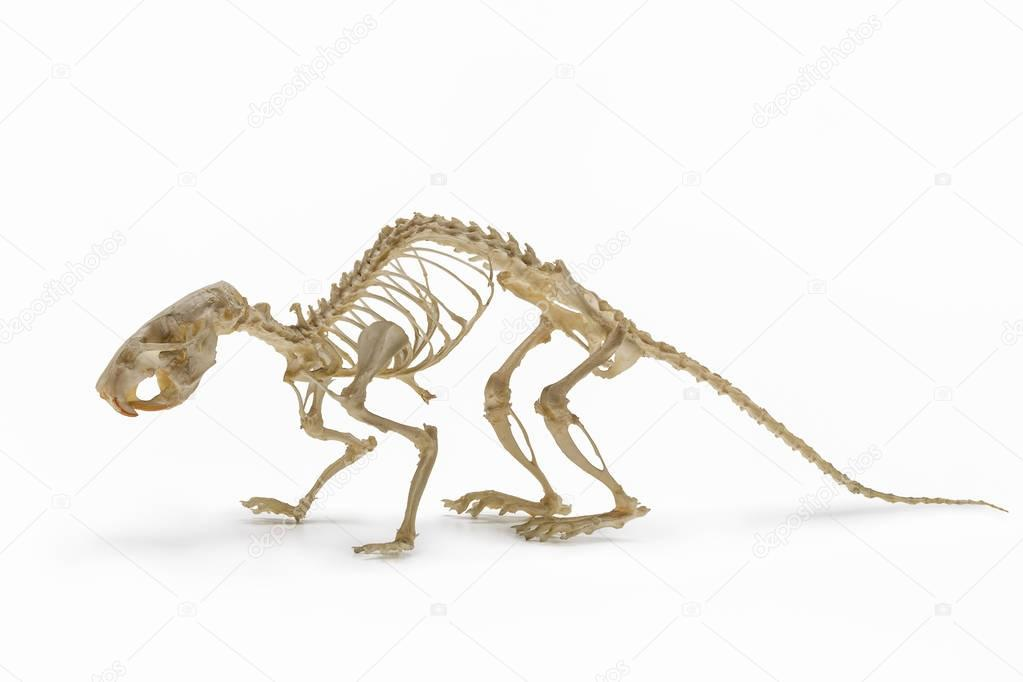 Handbook on zoology. Skeleton of  rat on  white background.