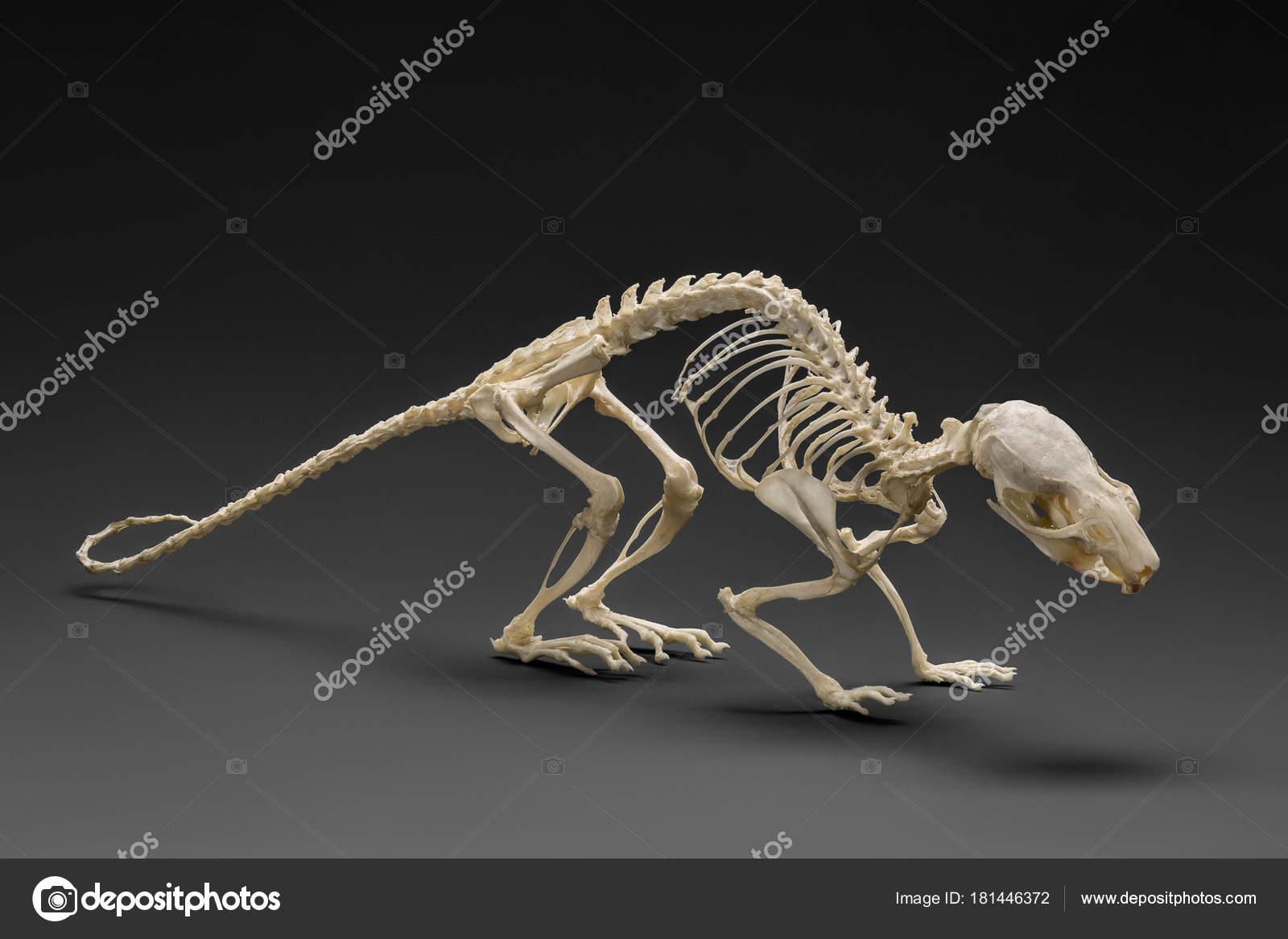 Echte Ratte Skelett Auf Dunklem Hintergrund Studio Gedreht ...