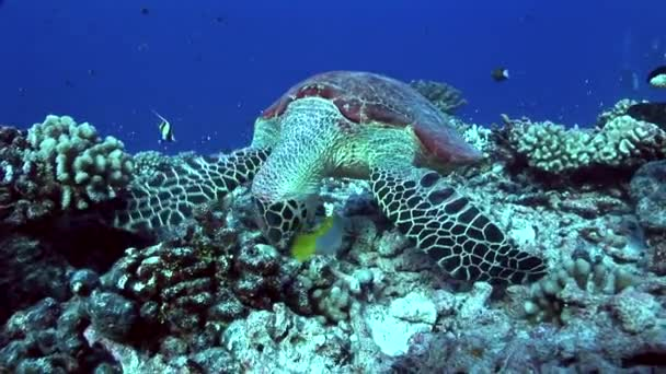 Hawksbill turtle feeding on a tropical reef
