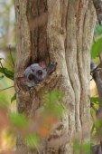 Fotografie Blick in die Kamera aus seinem Loch Lemur