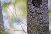 Fotografie Blick in die Kamera aus seiner Höhle Lemur