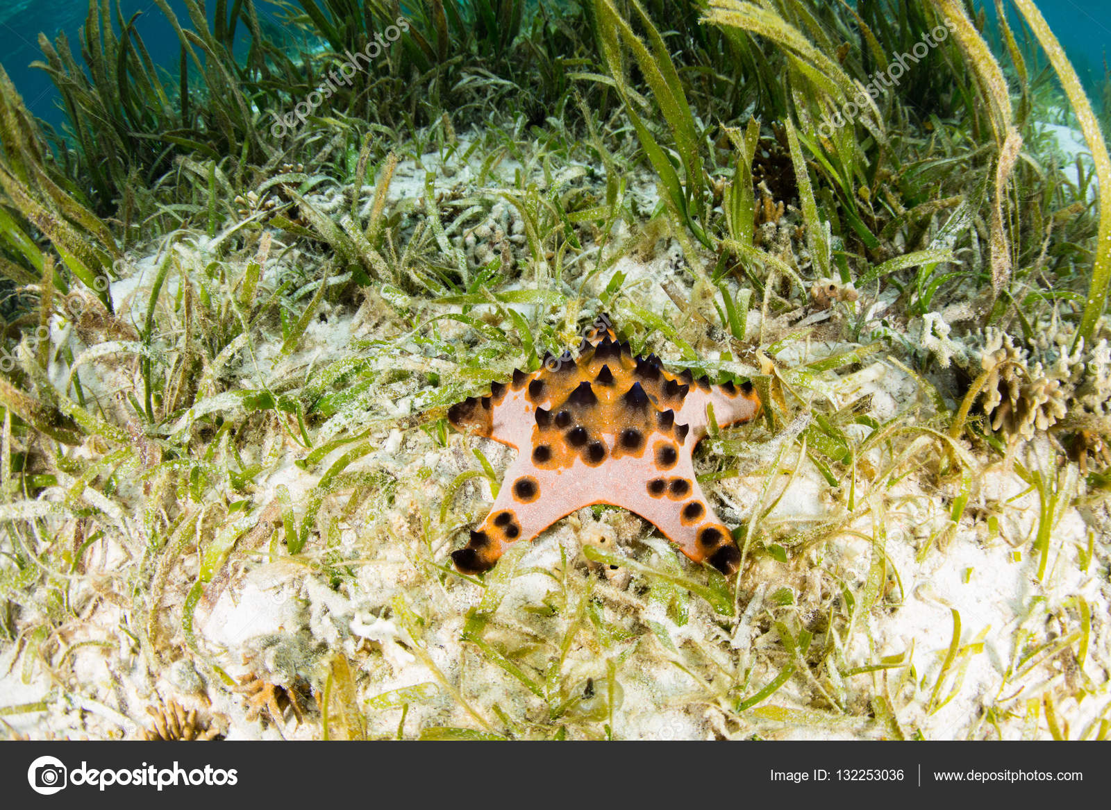 Chocolate Chip Starfish in Seagrass Meadow — Stock Photo © ead72 ...