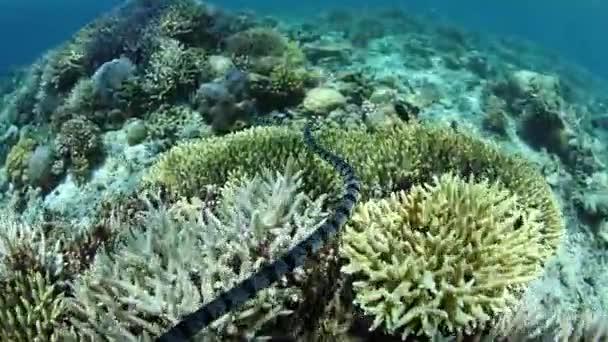 Víz alatti sávos tengerikígyó