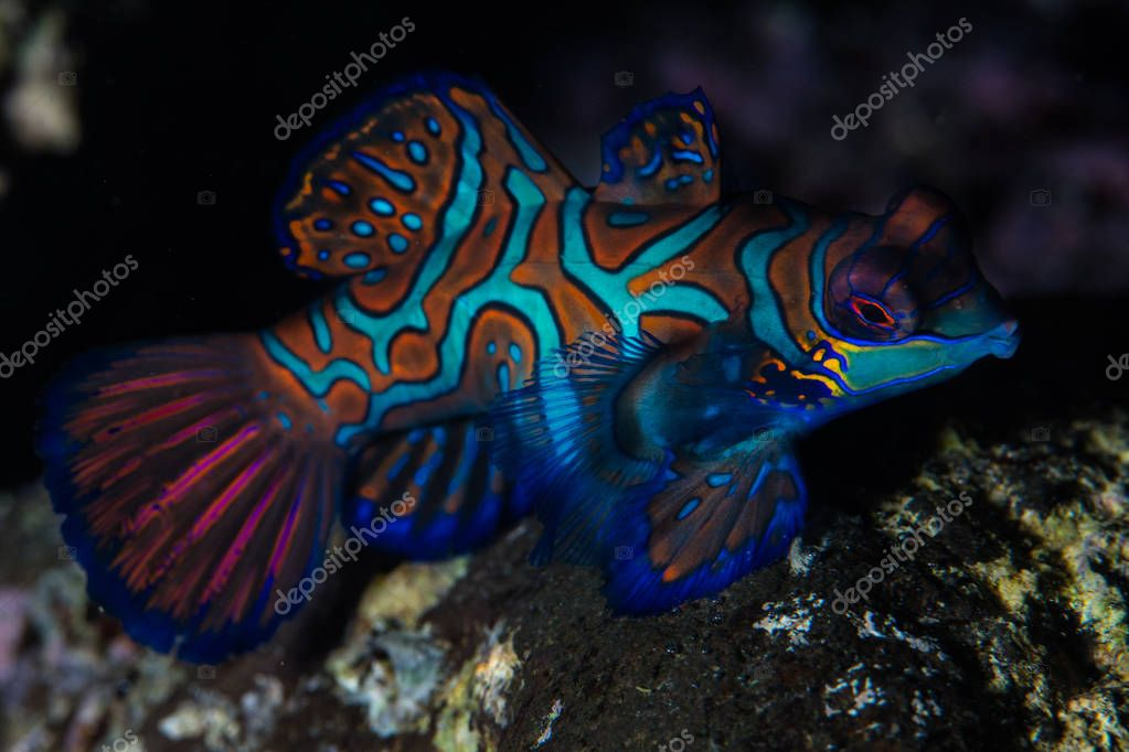 A gorgeous mandarinfish, Synchiropus splendidus, swims over the rocky bottom of the harbor of Banda Neira in eastern Indonesia.