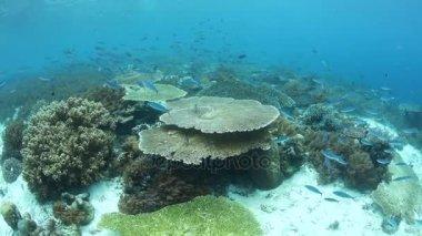 Beautiful Coral Reef in Raja Ampat, Indonesia