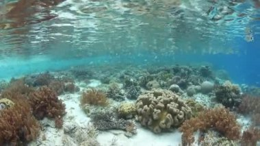 Healthy Corals and Planktivorous Fish in Raja Ampat