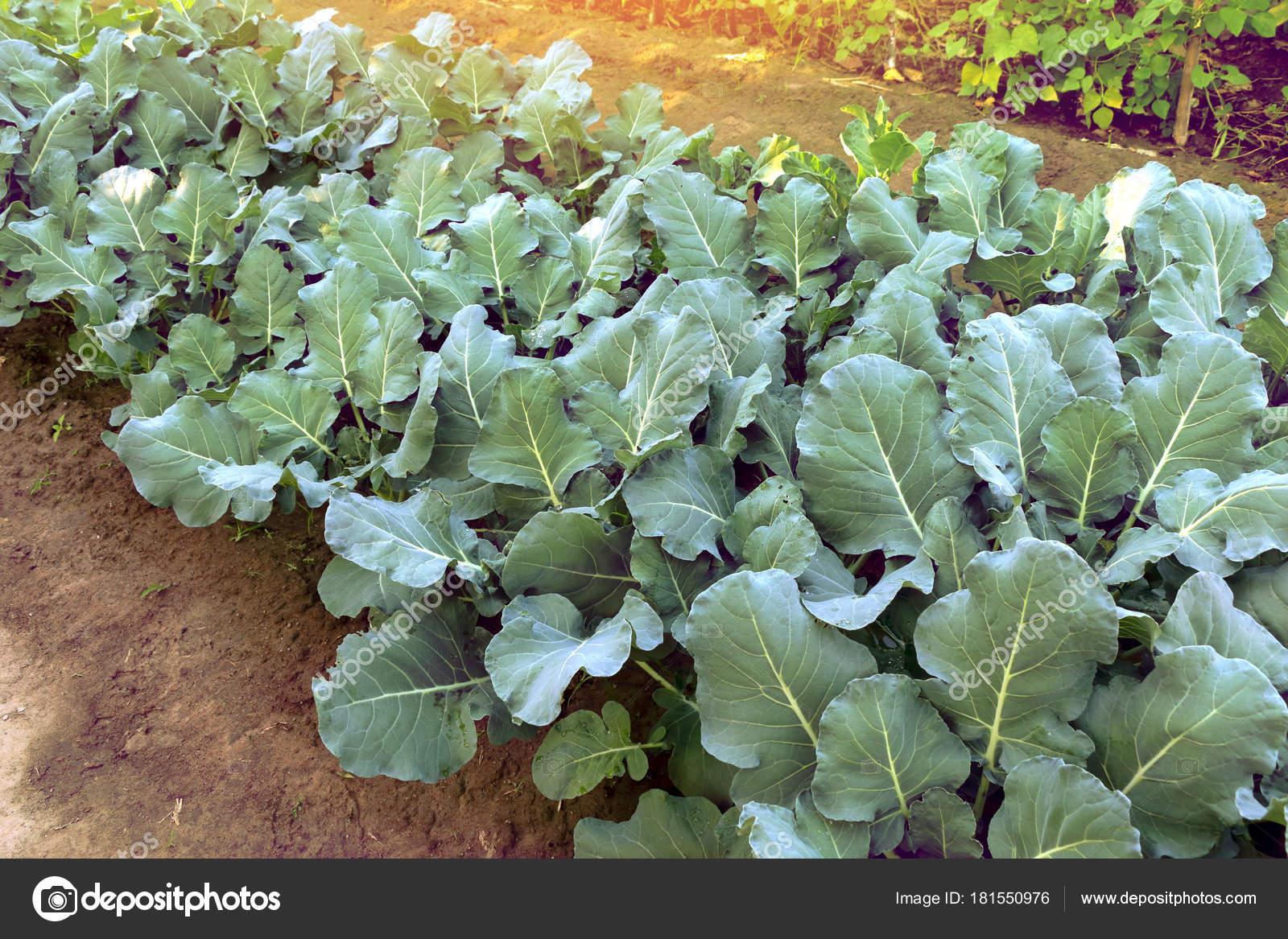 Jonge broccoli planten groeien in huis tuin het kweken for Groenten tuin